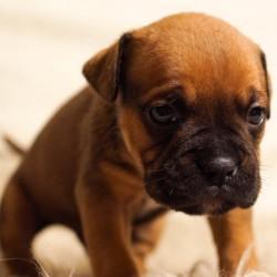 Old-English-Bulldog-Pup-free-license-CC0-980x725